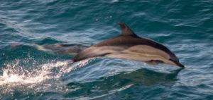 03-05-16-common-dolphin-breaching