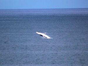orca-breaching-fin-whale-april-2017